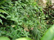 Sinningia sellovii