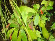 Gesneria cuneifolia