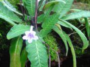 Streptocarpus rexii