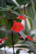 botanický Achimenes erecta