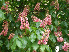Valdštejnská zahrada - růžový kaštan