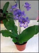 streptocarpus Escada